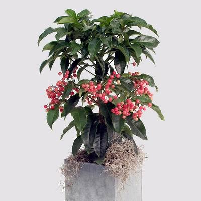 Параметры растения ардизия