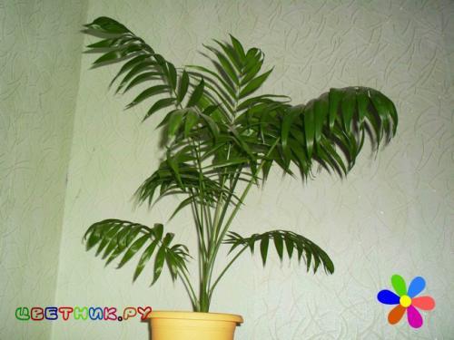 Комнатные пальмы неприхотливые