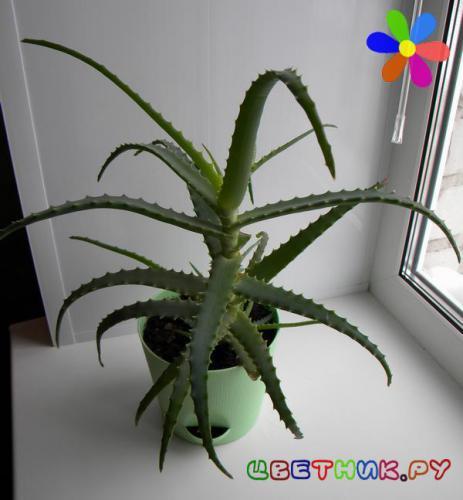 алоэ это комнатное или лекарственное растение